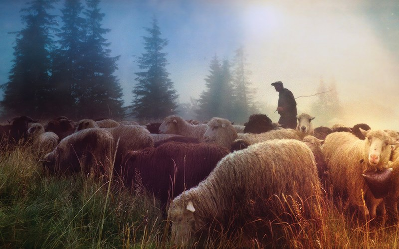 A Shepherd's Sacrifice Worthy of a Flock's Thanks