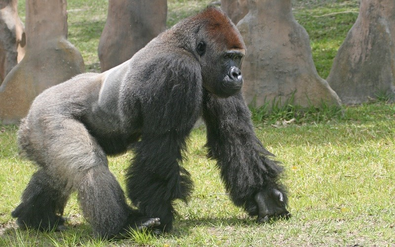 A Gorilla, a Boy, and God's Created Order