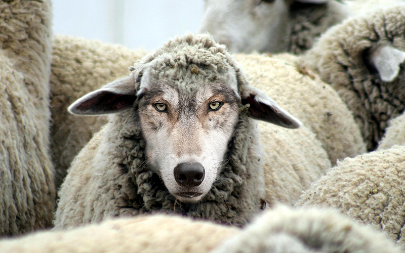 Wolves Sheep S Clothing Bible